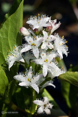 Fieberklee (Menyanthes trifoliata) Bild 001 Foto: Regine Schadach