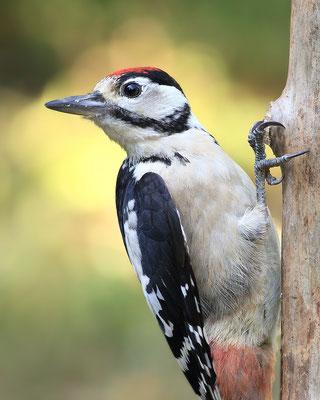 Buntspecht (Dendrocopos major) Männchen Bild 001 Foto: Regine Schadach