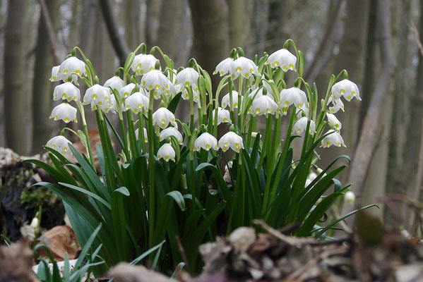 Frühlings-Knotenblume (Leucojum vernum) oder auch Märzenbecher genannt - Bild 007 - Foto: Regine Schadach