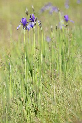 Sibirische Schwertlilie (Iris sibirica) Bild 006 Foto: Regine Schadach