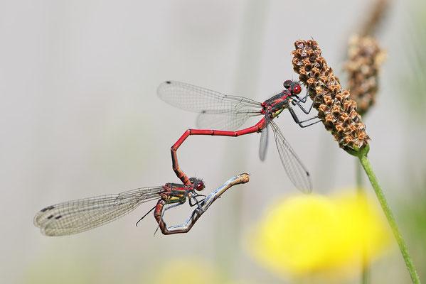 Frühe Adonislibelle (Pyrrhosoma nymphula) noch Tandem Bild 001 Foto: Regine Schulz