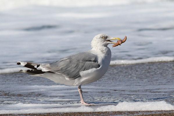 Silbermöwe (Larus argentatus)  mit Seestern - Bild 004 - Foto: Regine Schulz