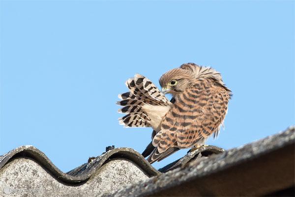 Turmfalke (Falco tinnunculus) - Jungvogel Bild 008 Foto: Regine Schulz Schulz Canon EOS 7D Mark II Canon EF 400mm f/5.6 L USM