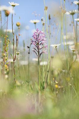 Helm-Knabenkraut (Orchis militaris) - Bild 006 - Foto: Regine Schadach