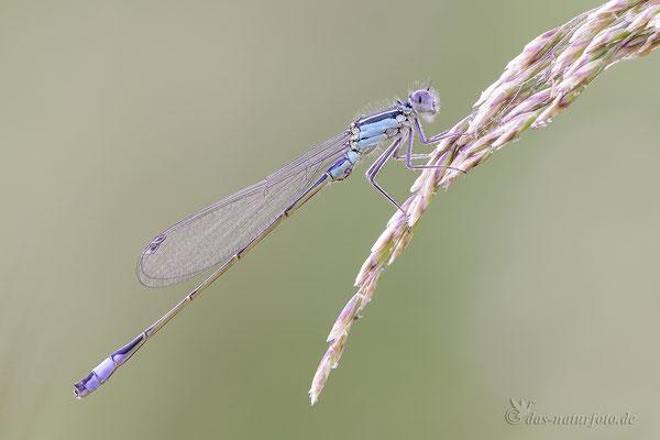 Große Pechlibelle (Ischnura elegans) Männchen Bild 021 Foto: Regine Schulz  - Canon EOS 5D Mark III Sigma 150mm f/2.8 Macro