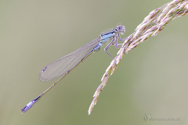 Große Pechlibelle (Ischnura elegans) Männchen Bild 021 Foto: Regine Schadach - Canon EOS 5D Mark III Sigma 150mm f/2.8 Macro