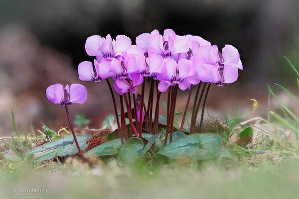 Alpenveilchen (Cyclamen coum)  Bild 005 Foto: Regine Schadach - Olympus OM-D E-M1 Mark I I- M.ZUIKO DIGITAL ED 60mm 1:2.8 Macro