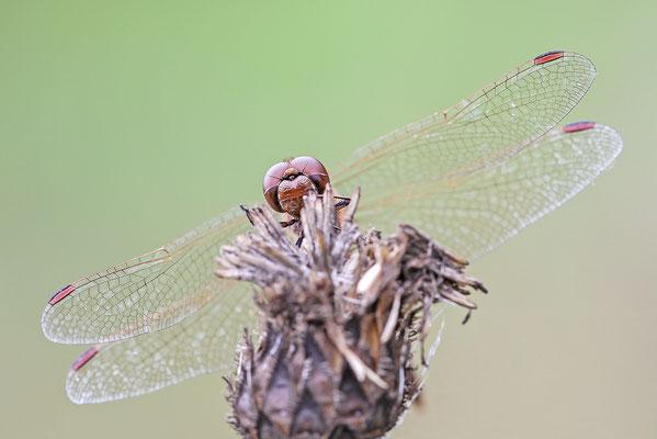 Gemeine Heidelibelle (Sympetrum vulgatum) Bild 002 Foto: Regine Schadach
