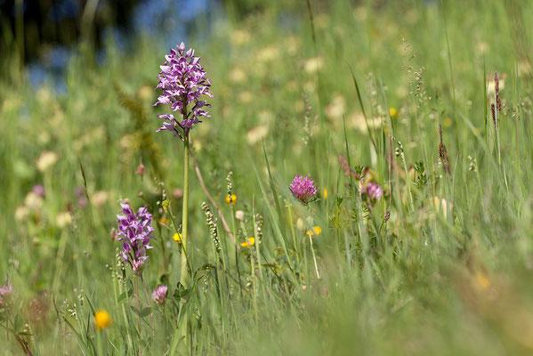Helm-Knabenkraut (Orchis militaris) - Bild 003 - Foto: Regine Schadach