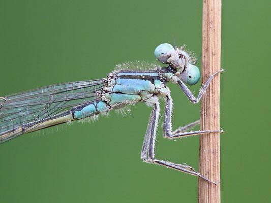 Große Pechlibelle (Ischnura elegans) Weibchen Bild 002 Foto: Regine Schadach