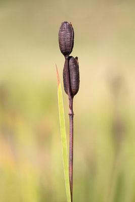 Sibirische Schwertlilie (Iris sibirica) Bild 003 Foto: Regine Schadach