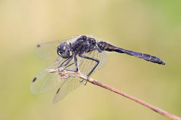 Schwarze Heidelibelle (Sympetrum danae) - Bild 003 - Foto: Regine Schulz