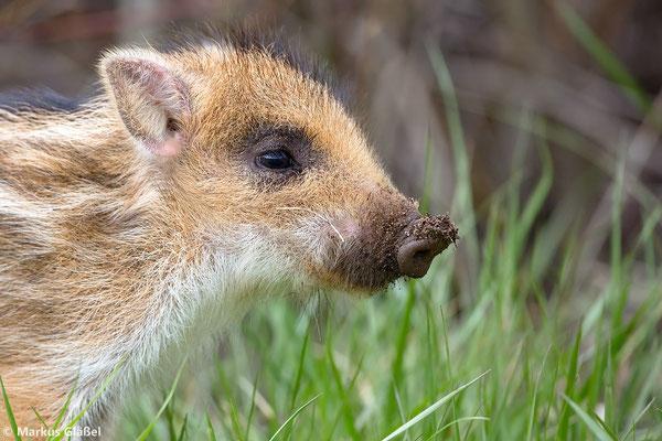 Wildschwein (Sus scrofa) - Frischling - Bild 336 Foto: Markus Gläßel