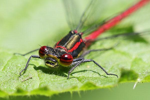 Frühe Adonislibelle (Pyrrhosoma nymphula Bild 009 Foto: Regine Schulz