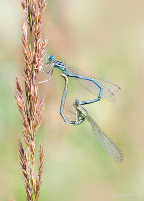 Paarungsrad Blaue Federlibelle (Platycnemis pennipes) Bild 026 - Foto: Regine Schadach - Olympus OM-D E-M1 Mark I I - M.ZUIKO DIGITAL ED 60mm 1:2.8 Macro
