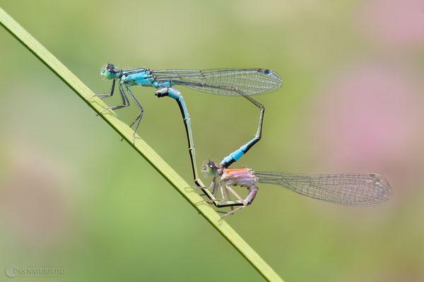 Große Pechlibelle (Ischnura elegans) Paarungsrad  Bild 026  - Foto: Regine Schadach - Olympus OM-D E-M1 Mark II - M.ZUIKO DIGITAL ED 40‑150mm 1:2.8 PRO  - MC 1,4 Telekonverter