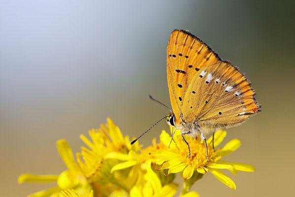 Dukatenfalter (Lycaena virgaureae) - Bild 002 - Foto: Regine Schadach
