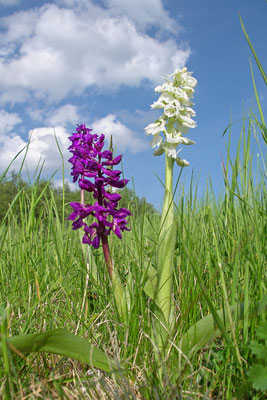 Manns-Knabenkraut (Orchis mascula) Bild 022 Foto: Regine Schadach