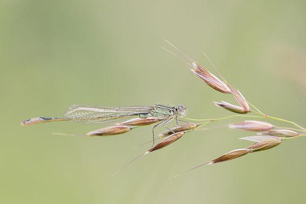 Große Pechlibelle (Ischnura elegans) - Männchen immatur  Bild 015 Foto: Regine Schadach