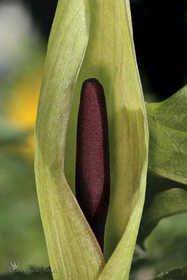 Gefleckter Aronstab (Arum maculatum s.str.) Bild 001 Foto: Regine Schadach