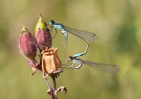 Große Pechlibelle (Ischnura elegans) - Paarungsrad Bild 010 Foto: Regine Schadach