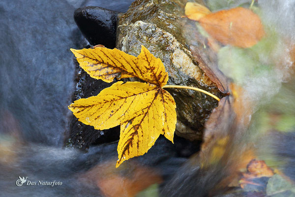 Berg-Ahorn (Acer pseudoplatanus)  Bild 002 Foto: Regine Schadach