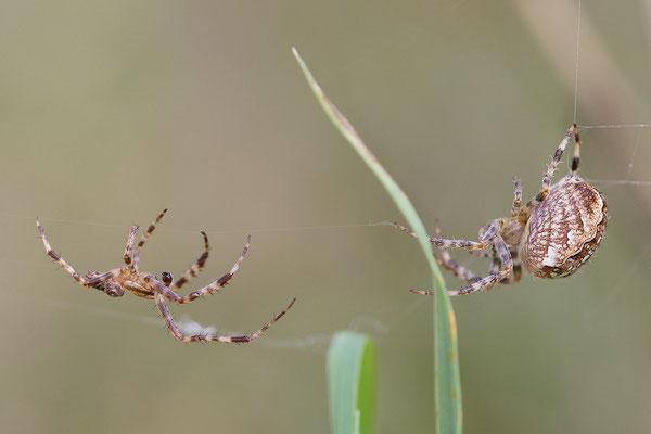 Gartenkreuzspinne (Araneus diadematus) - Männchen (links) und Weibchen - Bild 007 - Foto: Regine Schadach