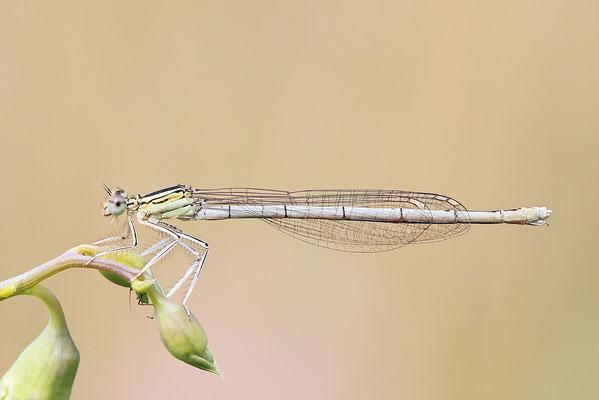 """Gemeine Federlibelle (Platycnemis pennipes)  Weibchen - auch """"Blaue Federlibelle"""" Bild 023 Foto: Regine Schadach"""
