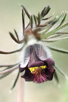 Dunkle Wiesen-Kuhschelle (Pulsatilla pratensis subsp. nigricans)  Bild 003 Foto: Regine Schadach
