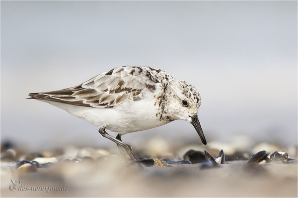 Sanderling (Calidris alba) Bild 025 Foto: Regine Schulz
