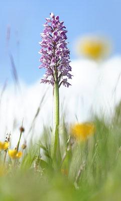 Helm-Knabenkraut (Orchis militaris) - Bild 005 - Foto: Regine Schadach