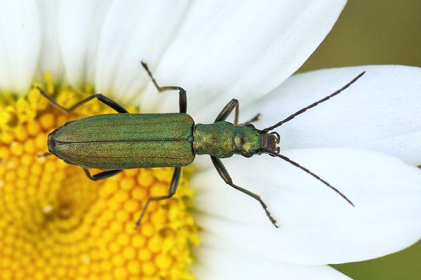 Chrysanthia viridissima (Chrysanthia viridissima) Bild 001 Foto: Regine Schulz