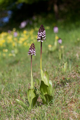 Purpur-Knabenkraut (Orchis purpurea) Bild 003 Foto: Regine Schulz