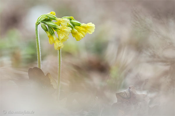 Hohe Schlüsselblume (Primula elatior)   Bild 004 Foto: Regine Schadach - Olympus OM-D E-M5 Mark II - M.ZUIKO DIGITAL ED 40‑150mm 1:2.8 PRO