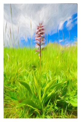 Fotomalerei - Orchidee - Purpur-Knabenkraut  -  Foto: Regine Schadach - Olympus OM-D E-M1 Mark I I - M.ZUIKO DIGITAL ED 60mm 1:2.8 Macro