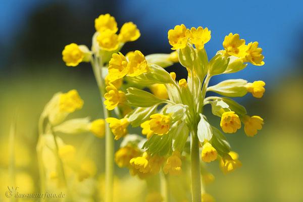 Wiesen-Schlüsselblume (Primula veris) Blume des Jahres 2016 Foto: Regine Schadach - Bild 006