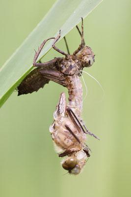 Falkenlibelle (Cordulia aenea) - Schlupf Bild 003 Foto: Regine Schadach