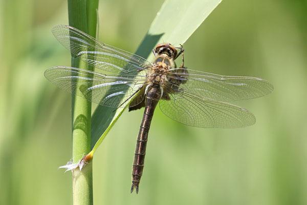Falkenlibelle (Cordulia aenea) - Imago frisch Bild 006 Foto: Regine Schadach