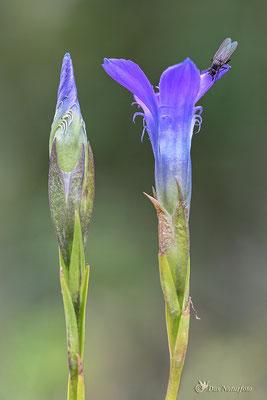 Gewöhnliche Fransenenzian (Gentianopsis ciliata) Bild 001 Foto: Regine Schulz