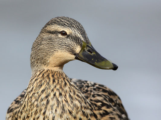 Stockente (Anas platyrhynchos)  - Weibchen Bild 001 Foto: Regine Schulz