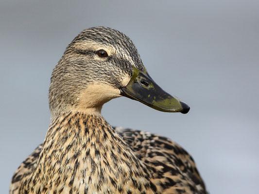 Stockente (Anas platyrhynchos)  - Weibchen Bild 001 Foto: Regine Schadach