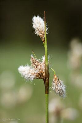 Schmalblättriges Wollgras (Eriophorum angustifolium) - Bild 006 - Foto: Regine Schadach- Olympus OM-D E-M1 Mark II - M.ZUIKO DIGITAL ED 12‑100 1:4.0 IS PRO
