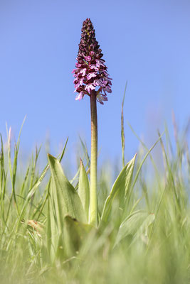 Purpur-Knabenkraut (Orchis purpurea) Bild 007 Foto: Regine Schadach