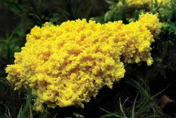 Gelbe Lohblüte (Fuligo septica), auch Hexenbutter genannt  Bild 003 Foto: Regine Schadach