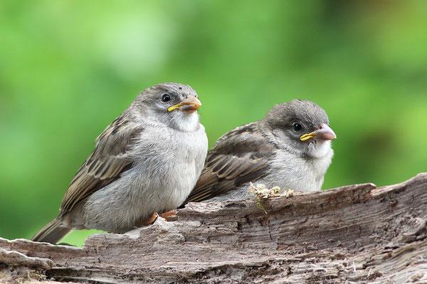 Haussperling (Passer domesticus) Jungvögel Bild 007 Foto: Regine Schadach