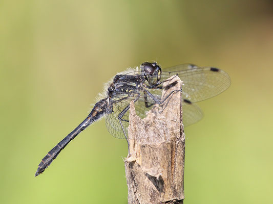 Schwarze Heidelibelle (Sympetrum danae) - Bild 002 - Foto: Regine v