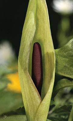 Gefleckter Aronstab (Arum maculatum s.str.) Bild 002 Foto: Regine Schadach