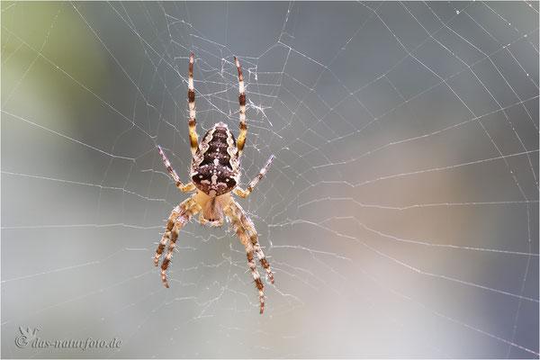 Gartenkreuzspinne (Araneus diadematus) - Bild 012 - Foto: Regine Schadach   - Canon EOS 5D Mark III Sigma 150mm f/2.8 Macro