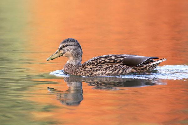 Stockente (Anas platyrhynchos) - Weibchen Bild 003 Foto: Regine Schadach