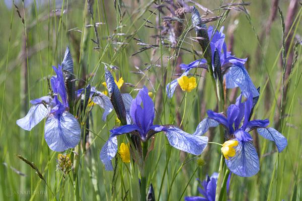Sibirische Schwertlilie (Iris sibirica) - Bild 010  - Foto: Regine Schadach - Olympus OM-D E-M1 Mark II - M.ZUIKO DIGITAL ED 60mm 1:2.8 Macro